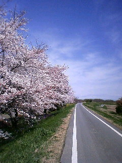 自転車で走りながら見る桜っ