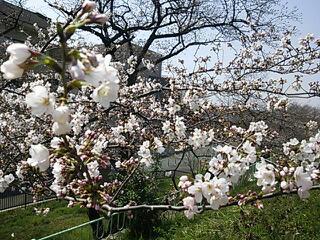 岩淵水門で一番咲いてた桜
